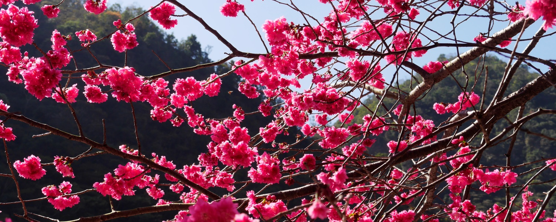 טיול לטאיוון ולקוריאה - פריחות (גם) הדובדבן