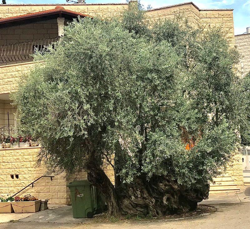 טיול מכוניות פרטיות לגליל - עצים עתיקים וגם קדושים