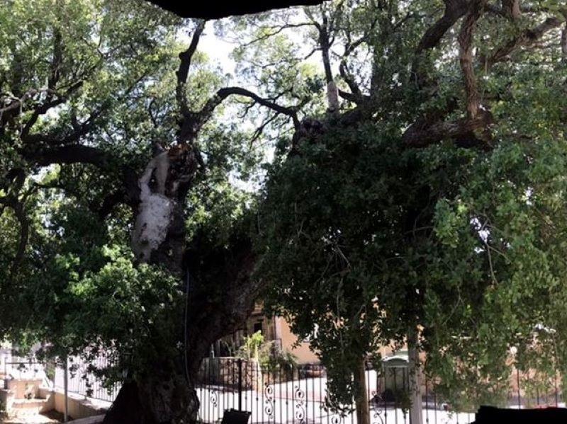 טיול מכוניות פרטיות בגליל - עצים עתיקים גדולים (וגם קדושים) .