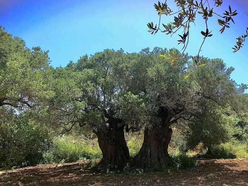טיול במכוניות פרטיות בגליל - עצים עתיקים גדולים (וגם קדושים)