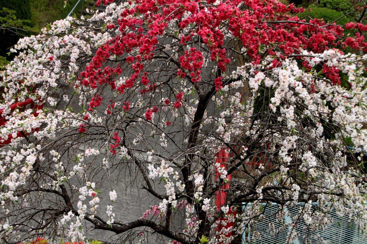 טיול ליפן באביב - לא רק פריחת הדובדבן