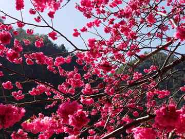 טיול לטאיוואן ולקוריאה - פריחות (גם) הדובדבן