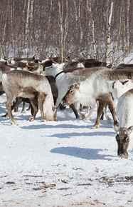 ימים 3-4 - הרועים, איילי הצפון וכבשי רעמה